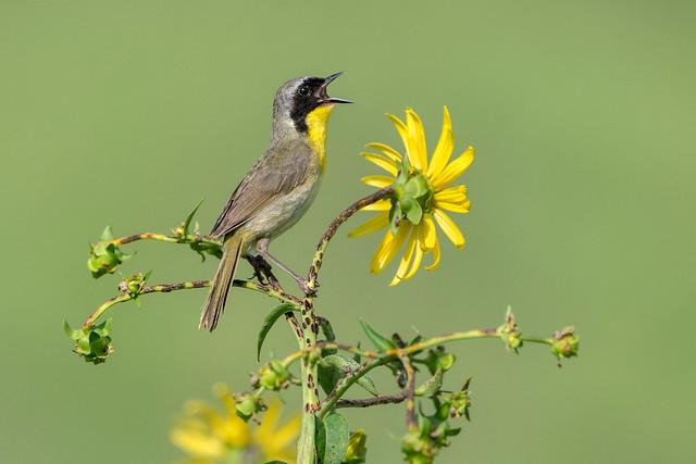 Common Yellowthroat - Ohio