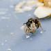 Gemeine Wespe (Lat. Vespula vulgaris)
