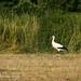 Köferinger Storch