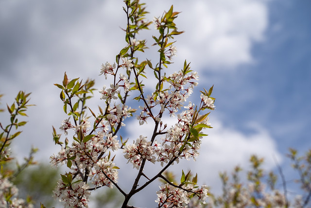 Armenian Plum flowers in bloom. Also known as a Siberian apricot or tibetian apricot