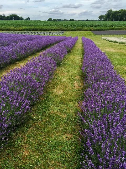 Apple Hill Lavender