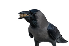 The hungry crow...