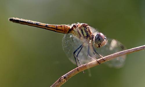 ontario canada burlington hamilton rbg rbgblooms dragonfly odonata macro