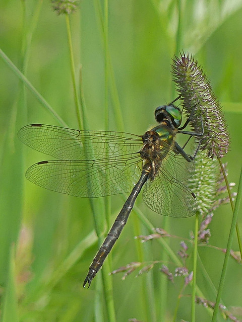 Northern emerald dragonfly (Somatochlora arctica) mindre glanstrollslända