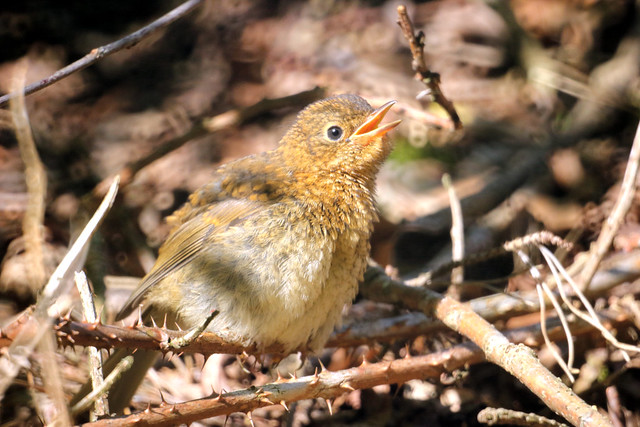 Young little Robin