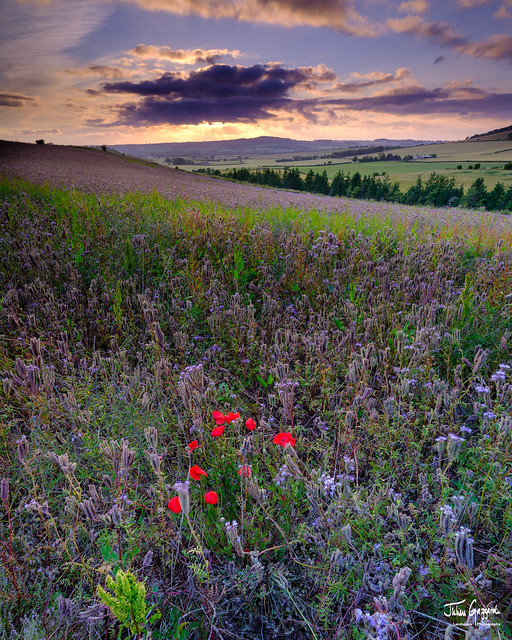 Sunset over thistles and poppies in the Meon Valley, Hampshire, UK