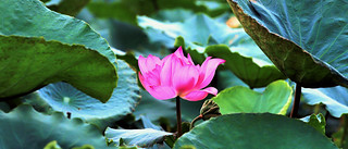 Lotus flower | by khoitran1957