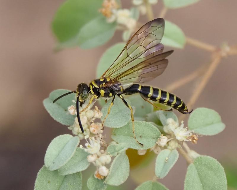 Wasp on Croton - 2