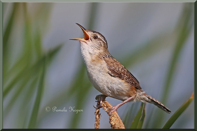 Easy to hear but tough to find - Marsh wren