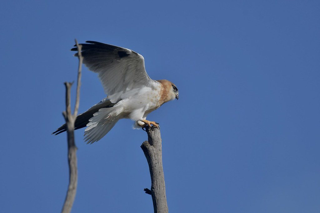 Black-shouldered Kite Juv. ( sitting up high watching for Dad )