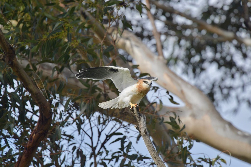 Black-shouldered Kite Juv. ( if you sit up high and see Dad coming in )