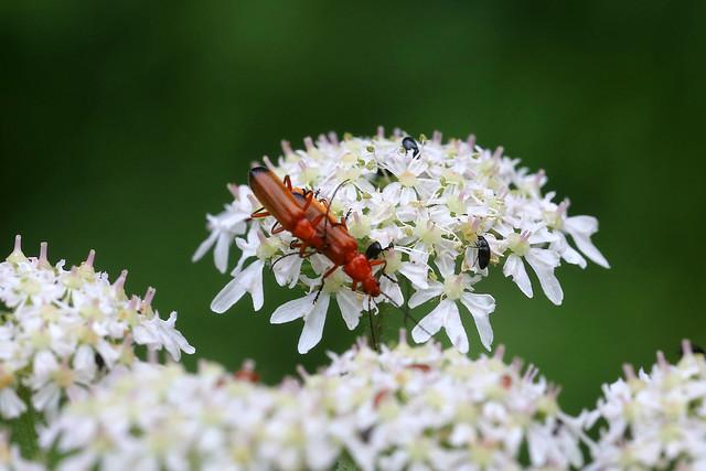 Common Red Soldier Beetle Rhagonycha fulva
