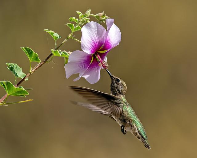 Hummingbird 66