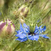 NIgella Damascena Flower and Seed Pod, 5.20.20