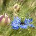 NIgella Damascena Flower and Seed Pod, 5.20.20