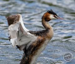 Grèbe huppé - Podiceps cristatus - Great Crested Grebe : IMG_7294_©_Michel_NOEL_2020