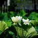 Lotus in Pond of Tsurugaoka Hachiman-gu Shrin : 源平池の蓮(鶴岡八幡宮)