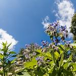 12. Juuli 2020 - 23:55 - Blühwiese Bramstedt. Nicht nur eine Futterpflanze für Bienen. Auch die Blätter, Blüten und der Samen kann vielfältig genutzt werden.