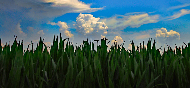 Corn Reaching to the Sky
