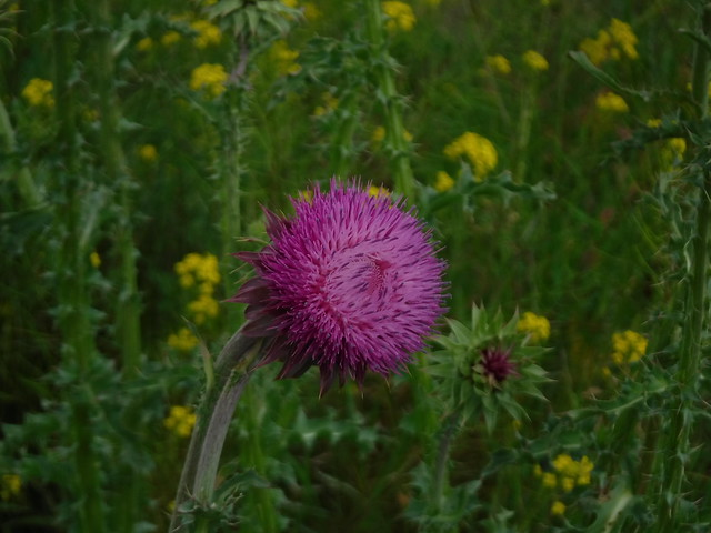 amazing thistle flowers just dont try and pick them.
