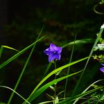 桔 梗 Platycodon grandiflorus 春過ぎて 夏来たるらし💜 Spring is over, Summer is coming-54