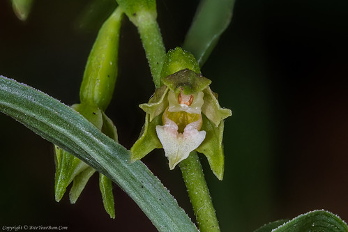 Green-flowered Helleborine Orchid (Epipactis phyllanthes var. pendula)