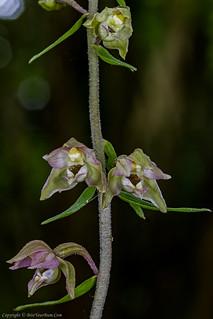 Broad-leaved Helleborine Orchid (Epipactis helleborine)