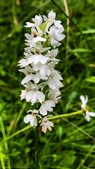 Common Spotted Orchid (Dactylorhiza fuchsii var. albiflora)