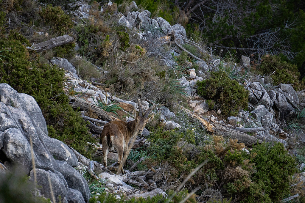 a brown mountain goat looking straight at the camera, on a very rocky mountain terrain, surrounded by fallen trees, medium sized boulders and small bushes
