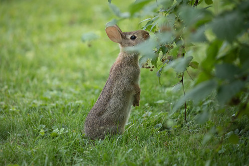 Eastern Cottontail bunny eating raspberries
