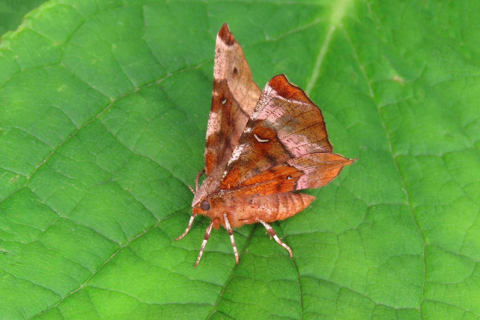 70.239 Purple Thorn - Selenia tetralunaria