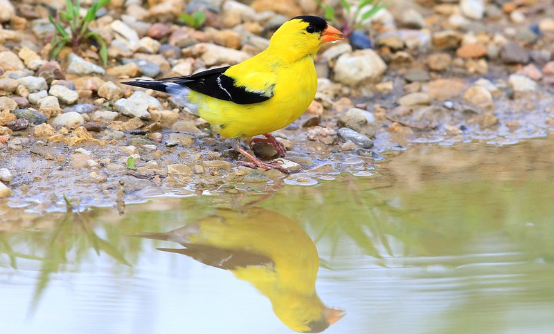 American goldfinch male near Vernon Springs IA 653A5776
