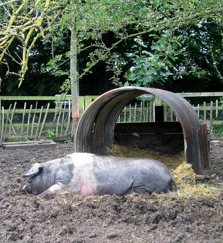 Pig at 1940s Farm, Beamish