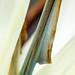 Strelitzia nicolai detail, 5.20.20