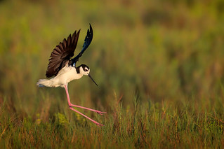 Black-necked Stilt | by Greg Lavaty Photography