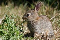 Oryctolagus cuniculus - Lapin de garenne - Lapin commun : IMG_7238_©_Michel_NOEL_2020