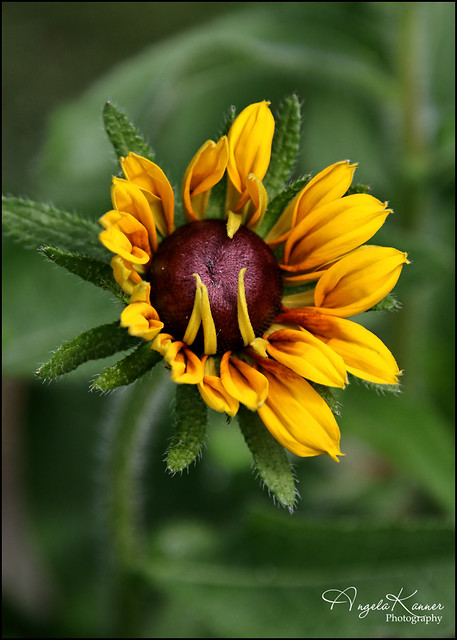 Brown Eyed Susan...