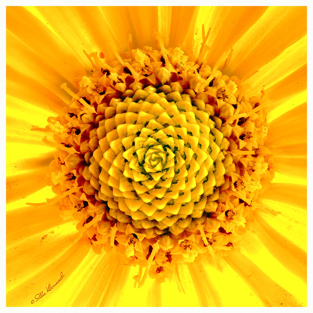 At the Heart of the Helianthus