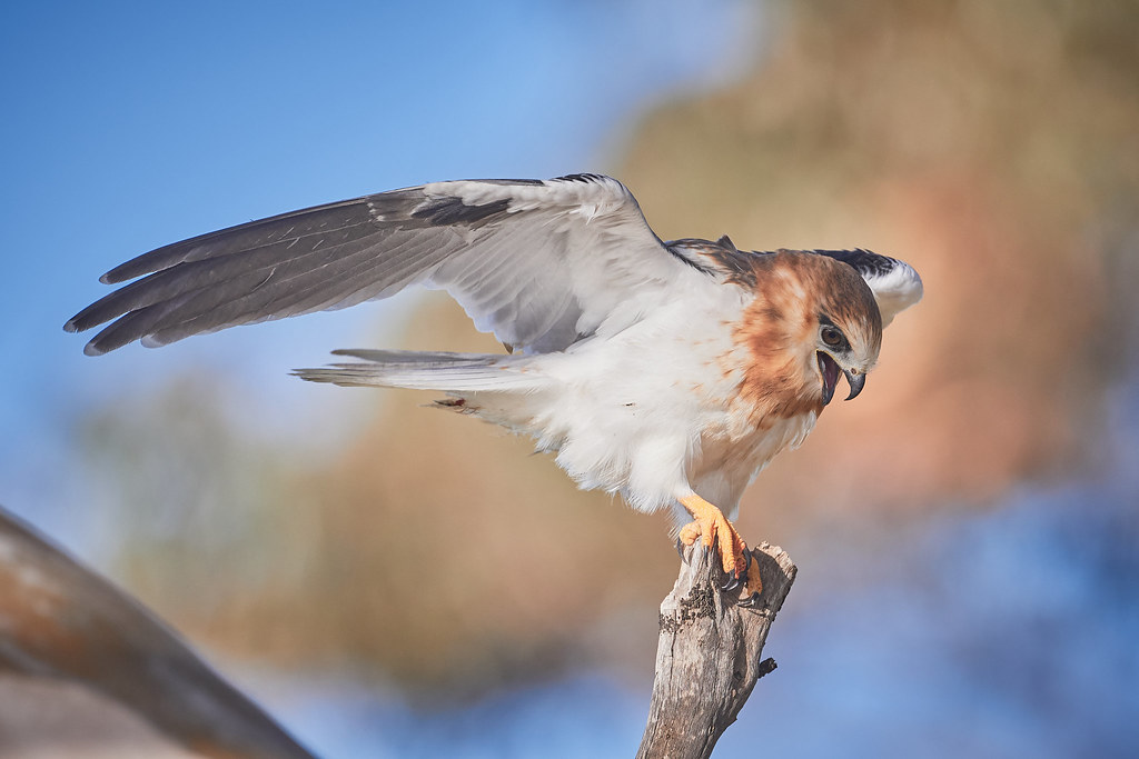 Black-shouldered KIte: Wing Stretch