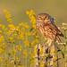 Little Owl - Civetta