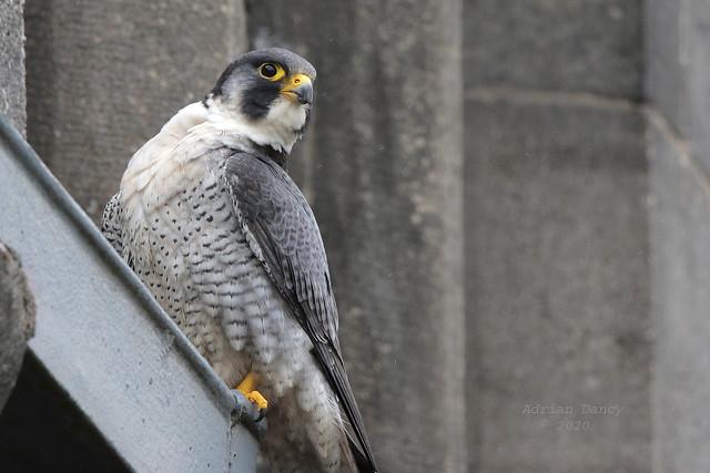 9P1A2994 Peregrine Falcon, male,  Rochdale
