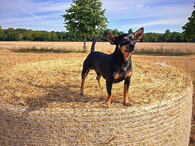 Max sur une botte de paille ( Alsace France )