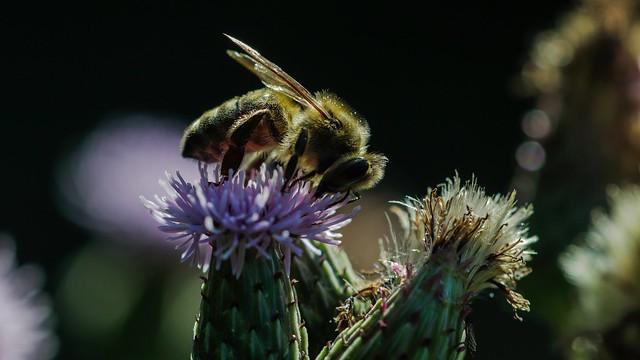 Honey bee  (Honingbij)