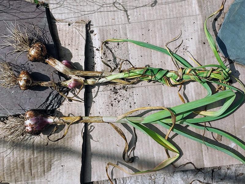 Braiding 2 Softneck Garlics, reserving a third for planting