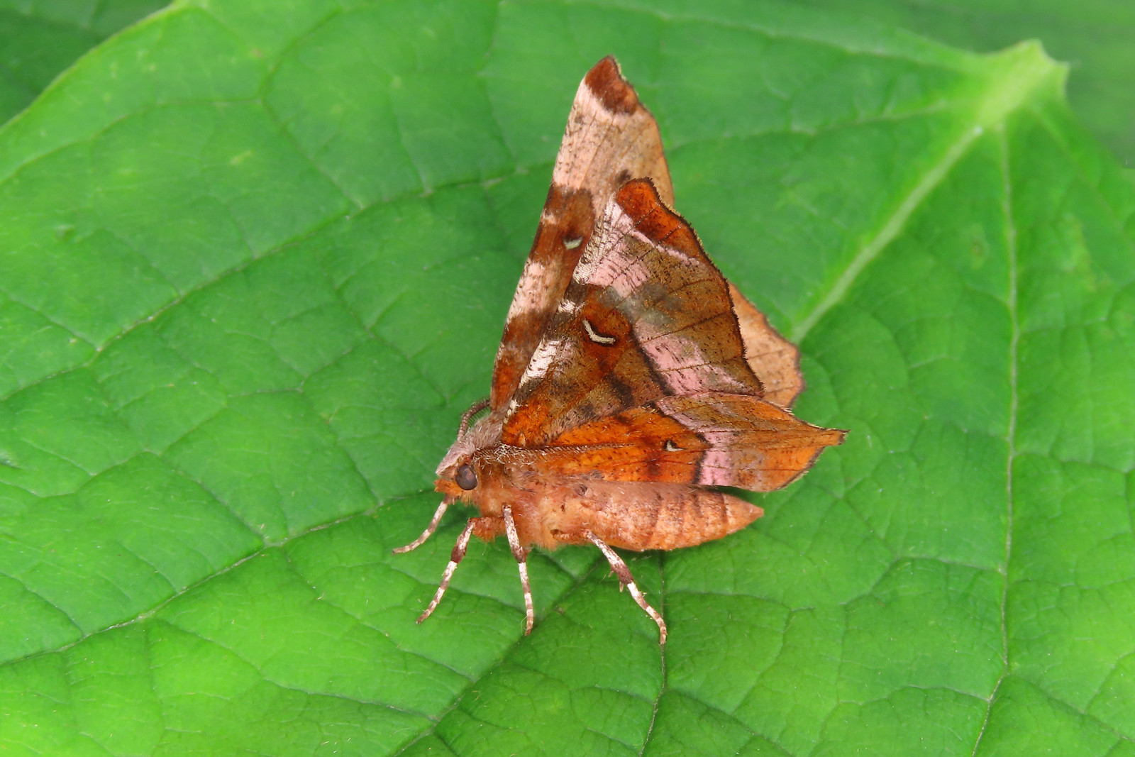 70.239 Purple Thorn - Selenia tetralunaria