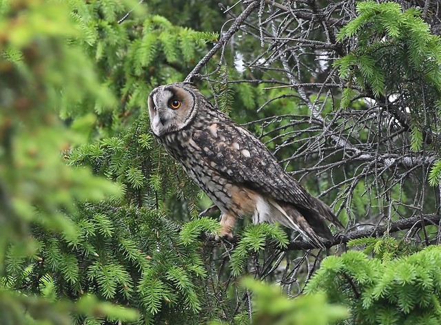 Long-eared owl 59 (eyrugla)