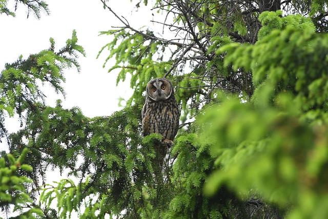 Long-eared owl 60 (eyrugla)