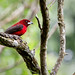 Crimson-backed Tanager_1161