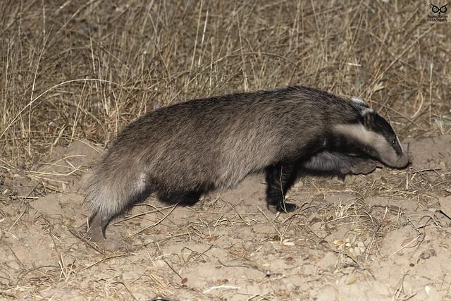 Texugo-europeu, European badger(Meles meles)
