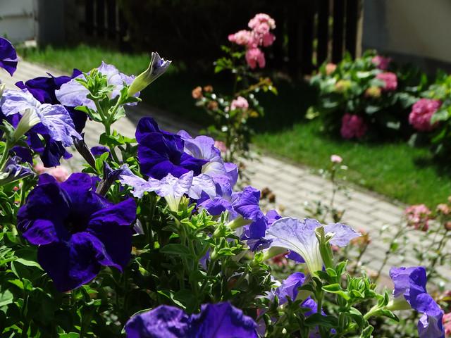 Kék petúnia